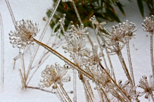 Ice covered chive blossoms