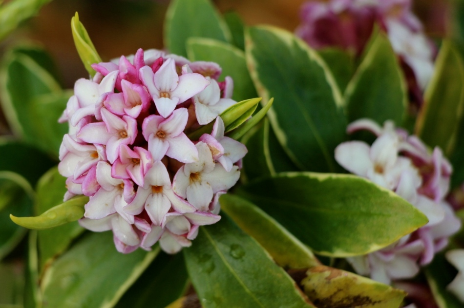 Fragrant daphne blooming all around my neighborhood