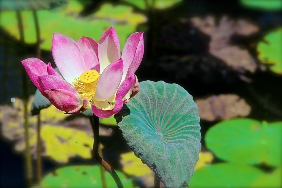 Lotus flower pond, Ubud, Bali.