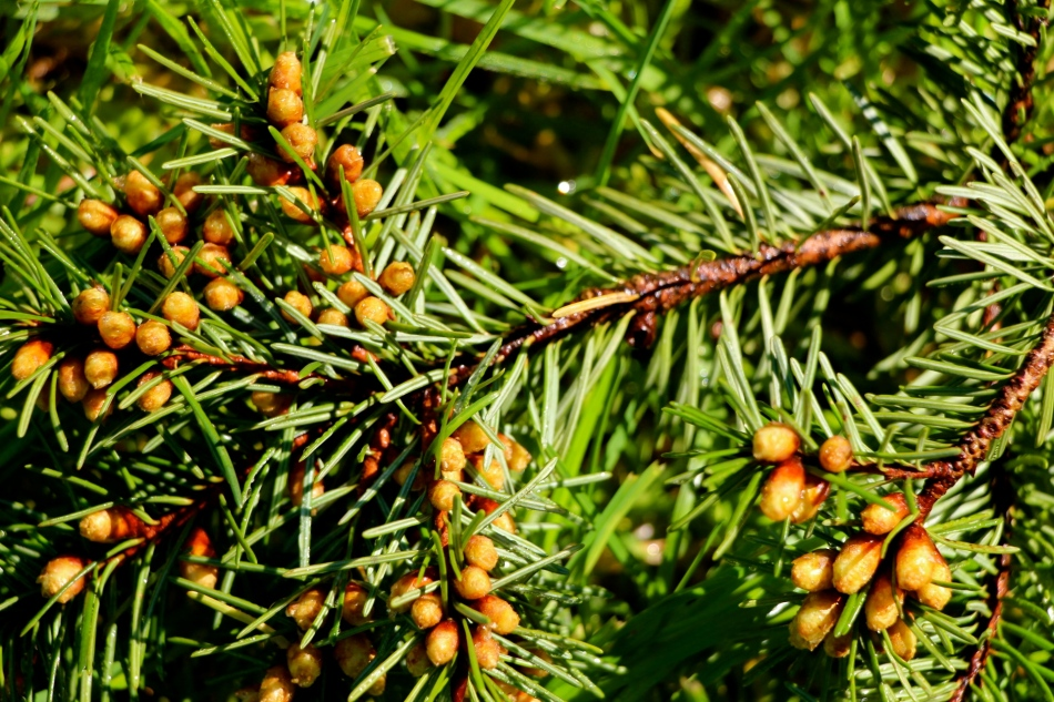 Beginnings of pine cones?