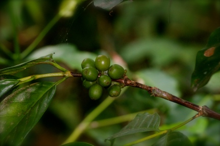 Green coffee berries