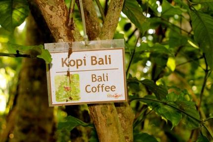 Coffee Farm in Bali