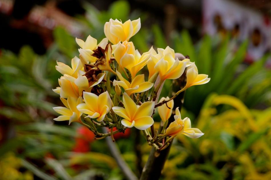 Fragrant plumeria blossoms