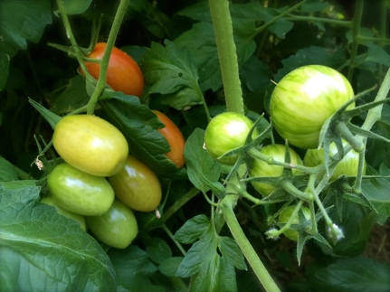 Juliet and Bumblebee Tomatoes