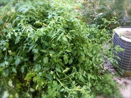 Invasion of the Tomato Plants!