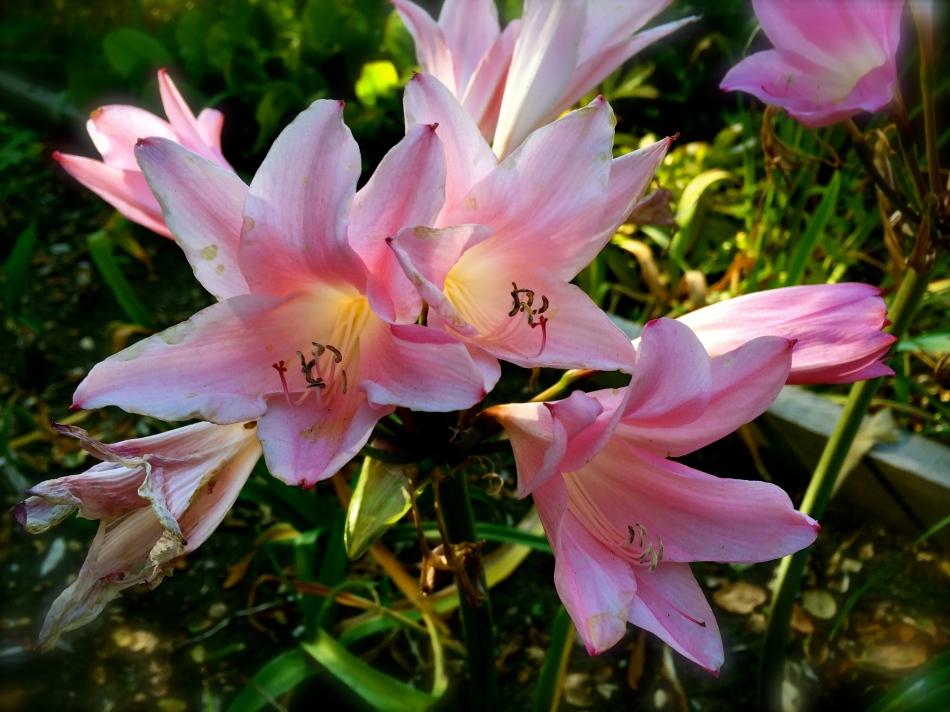Naked Ladies blooming in my garden!